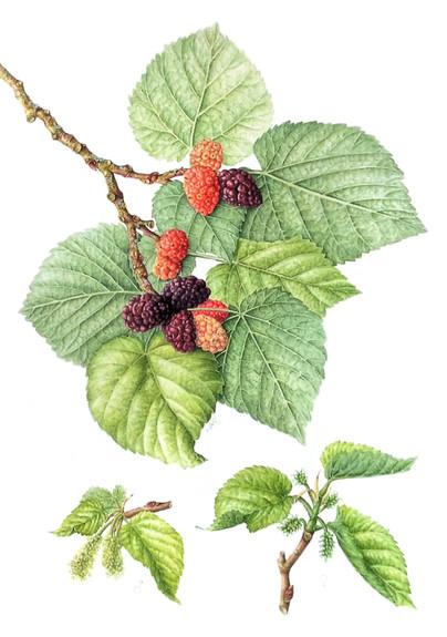 Mulberries © Leigh Ann Gale