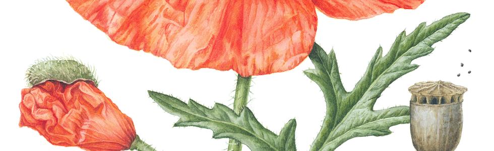 Common Poppy © Julia Trickey