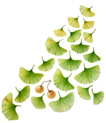 Gingko biloba - © Julie Coleclough - UK