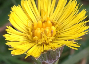 Plant of the Month - Coltsfoot