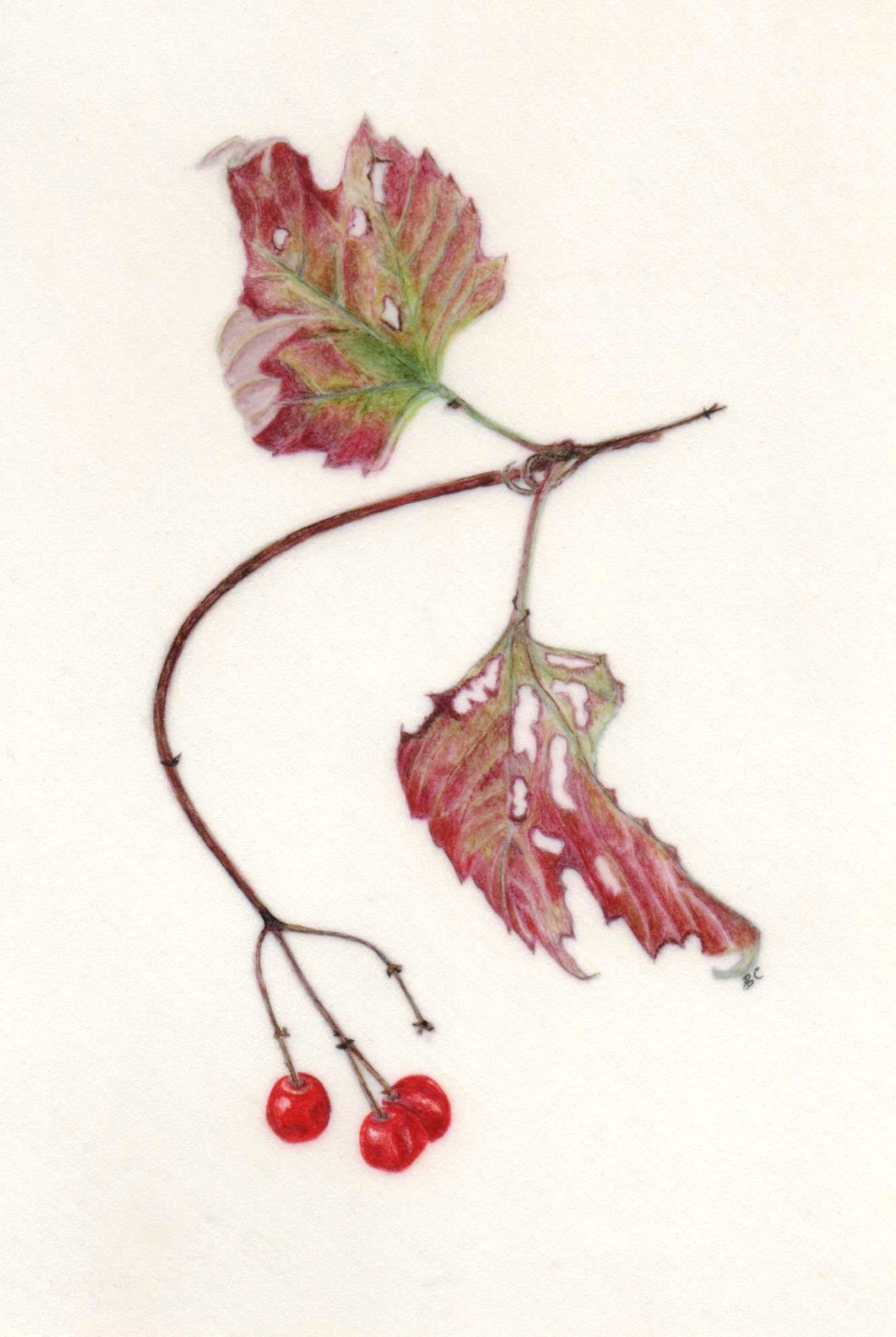 Guelder Rose in Autumn