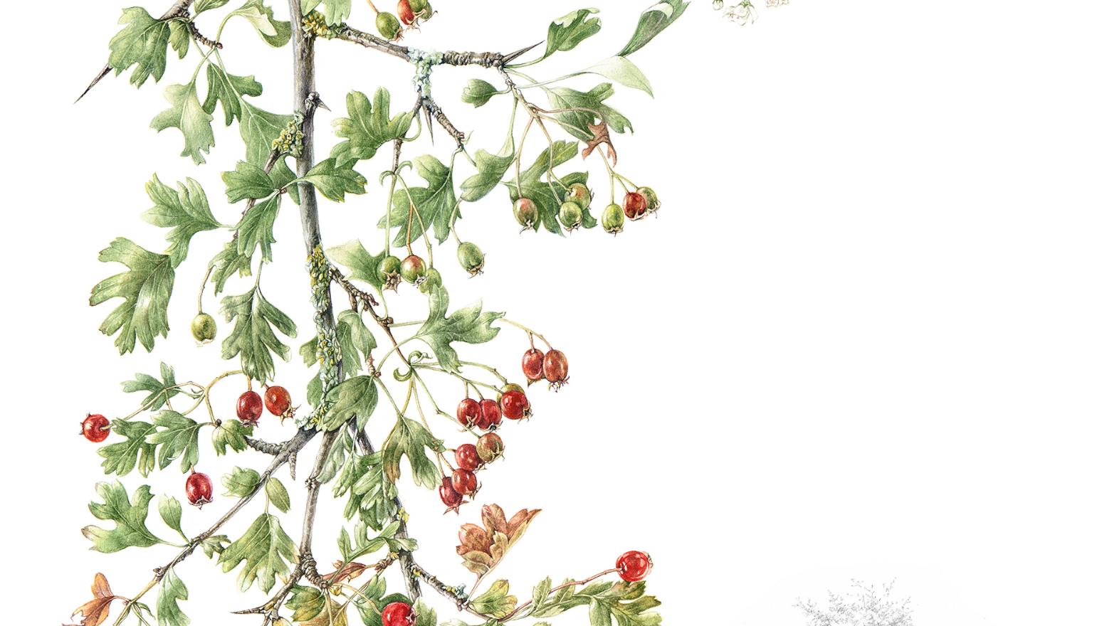 Hawthorn © Margaret Fitzpatrick