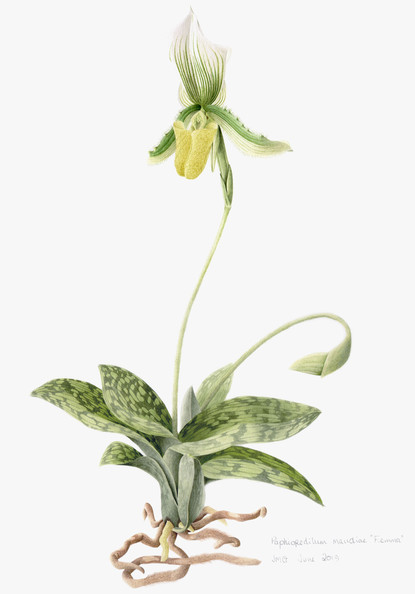 Slipper Orchid - © Joan Giles