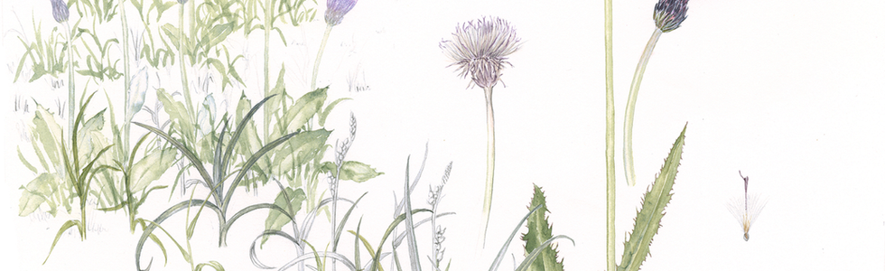 Meadow Thistle © Annie Morris
