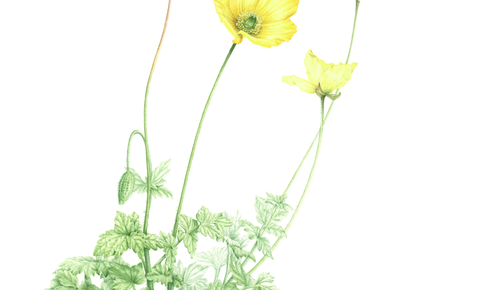 Welsh Poppy © Polly O'Leary