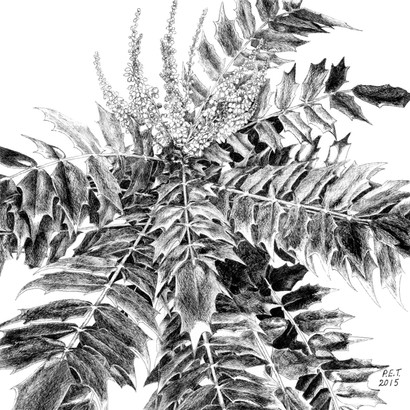 Mahonia 'Charity' - © Pamela Taylor - UK