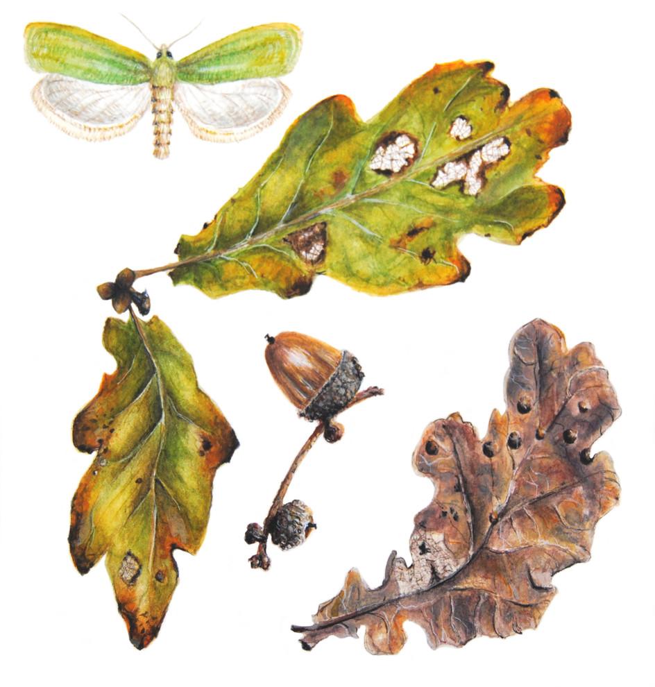 Oak Leaves - © Gillie Spargo - UK