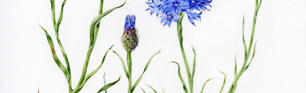 Cornflower © Gillian Foster