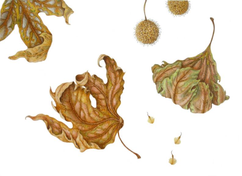 Oriental plane tree - falling leaves © Anne Girling