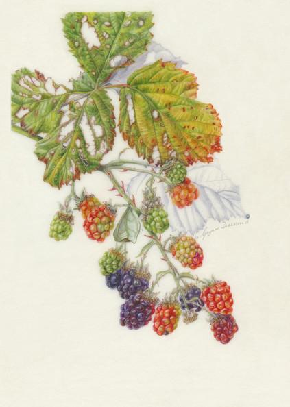 An Autumn Blackberry Branch - © Gaynor Dickeson - UK