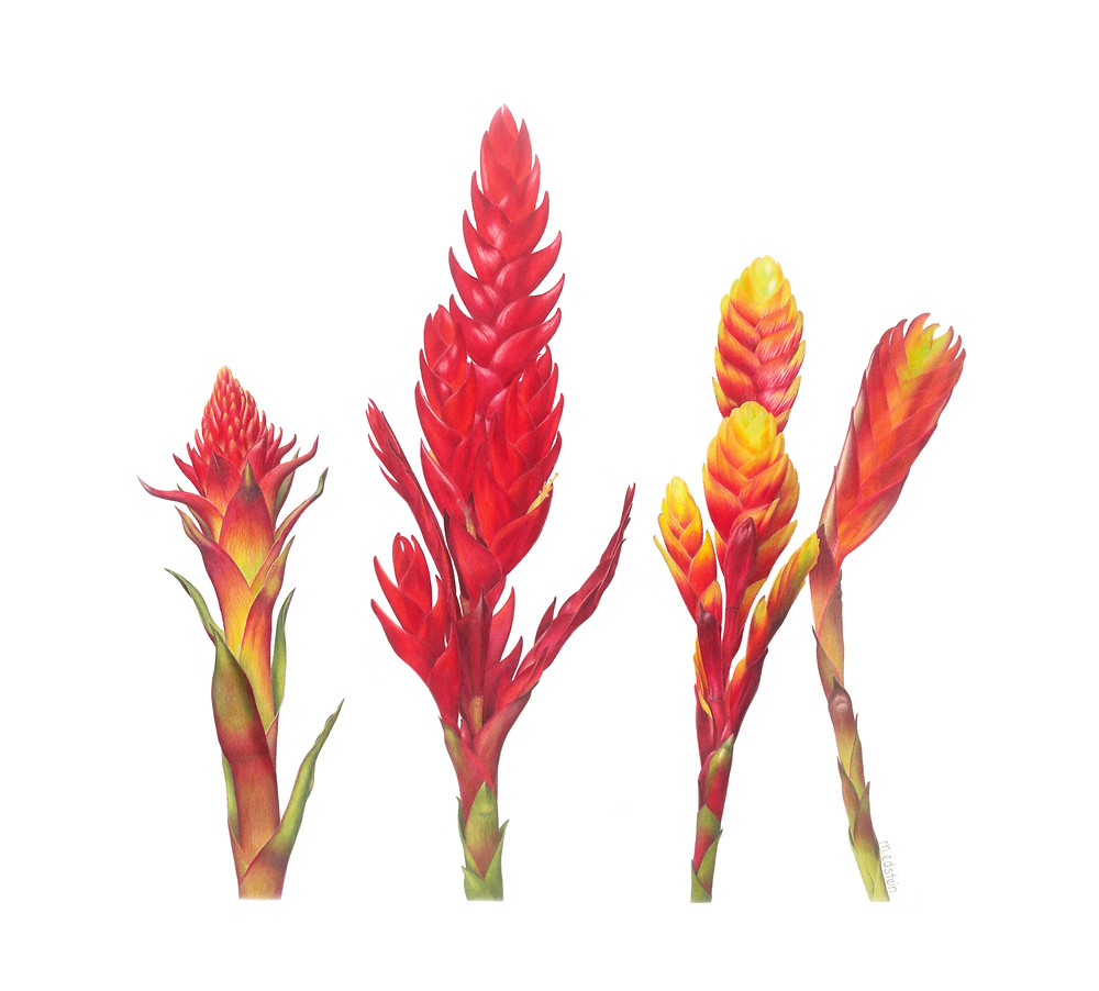 These spectacular tropical plants come in such vibrant colours - many coloured pencils were sacrificed to portray them.