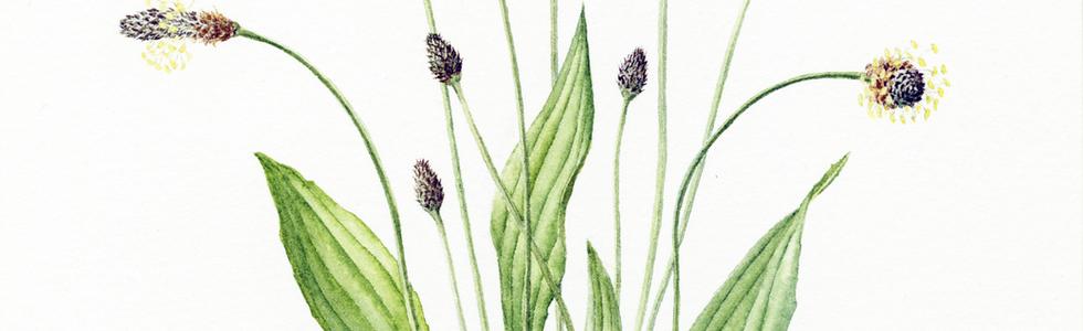 Ribwort Plantain © Miggy Bruce