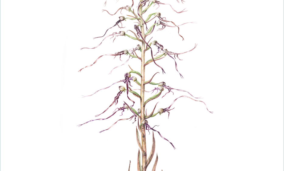 Lizard Orchid © Penny Price