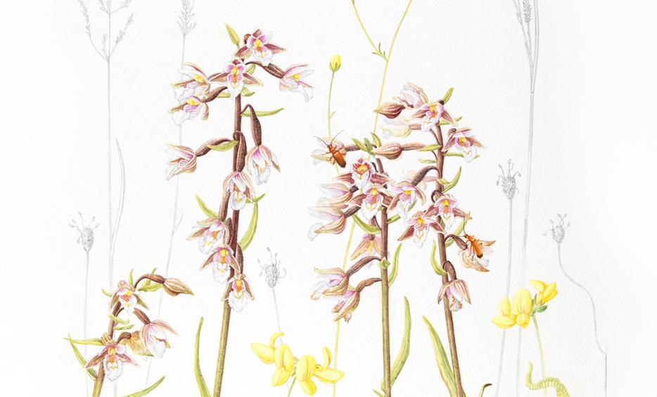 Marsh Helleborines © Claire Kathleen Ward