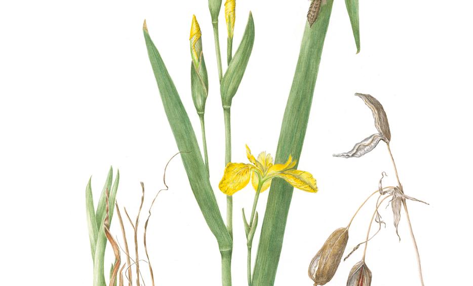 Yellow Flag Iris © Helen Cavalli