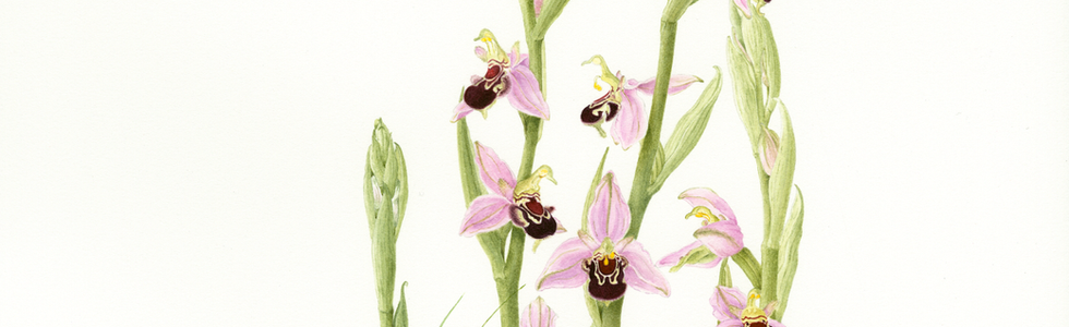 Bee Orchid © Elaine Allison