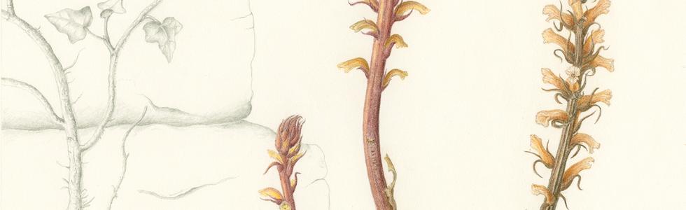 Ivy Broomrape © Anne Girling