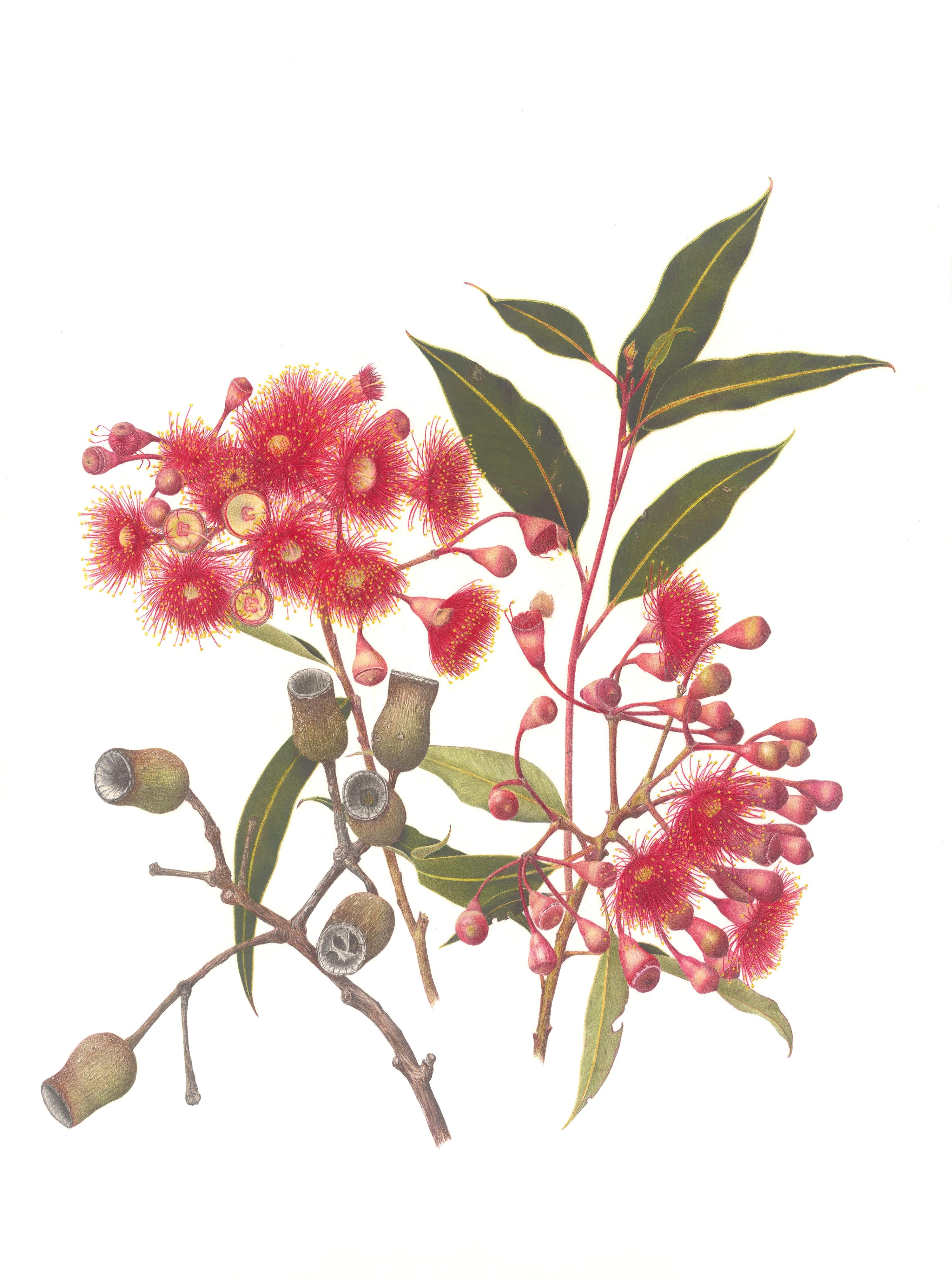 Red_Flowering_Gum