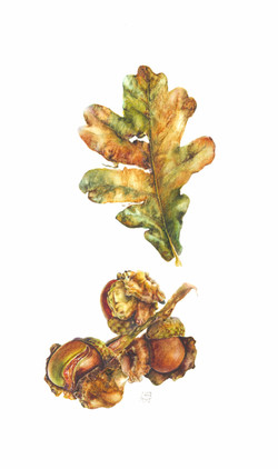 Oak Leaf and Oak Knopper Gall