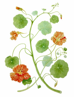 Nasturtiums - © Julie Coleclough - UK