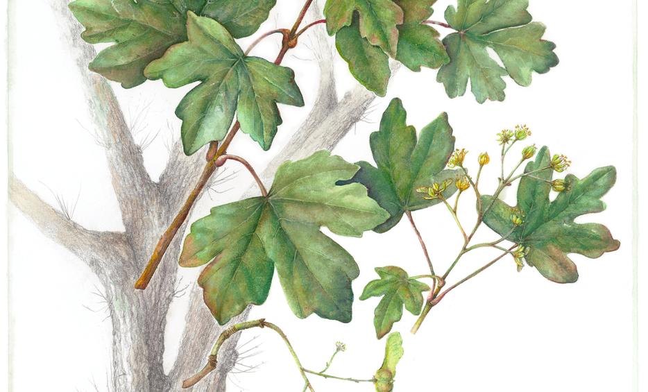 Field Maple © Susan Conroy
