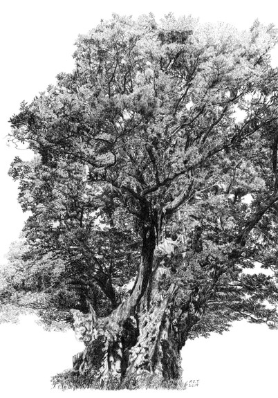King Offa's Oak © Pamela Taylor