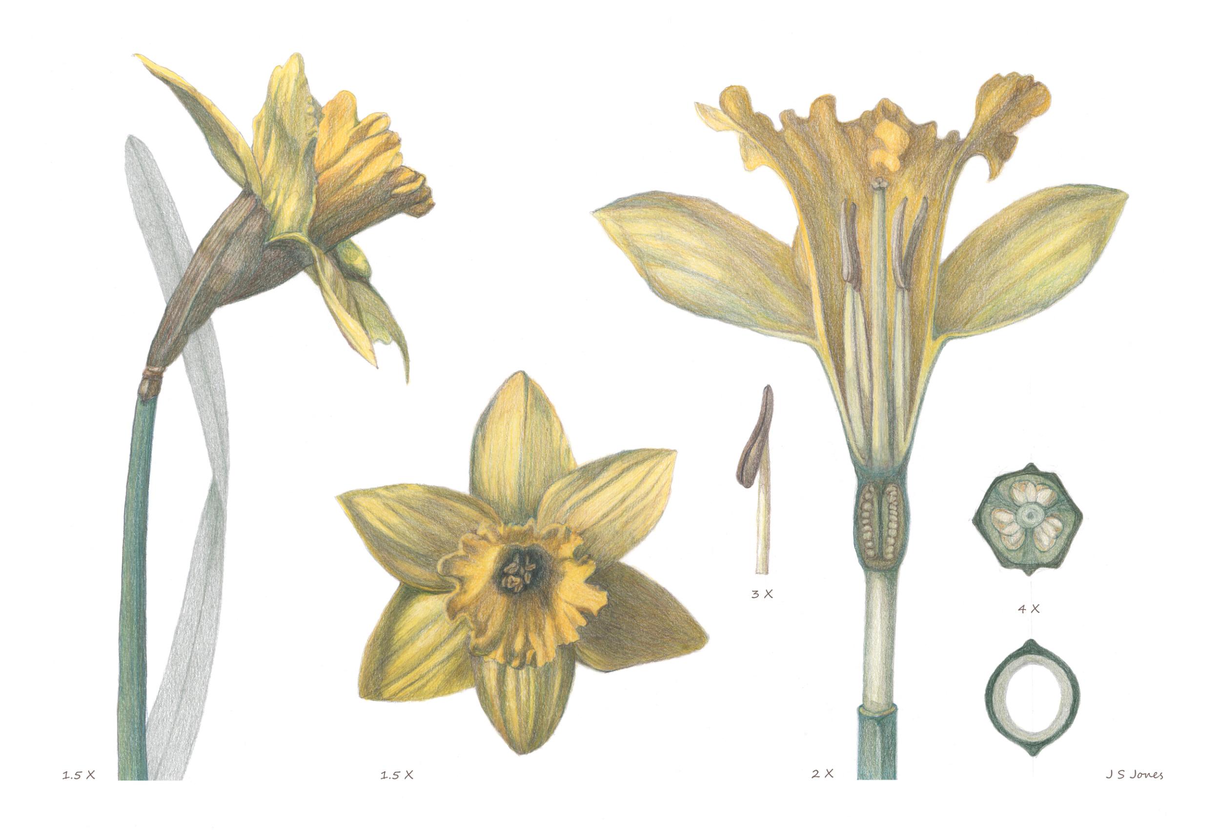 Narcissus major