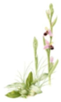 Bee_Orchid_EA.jpg