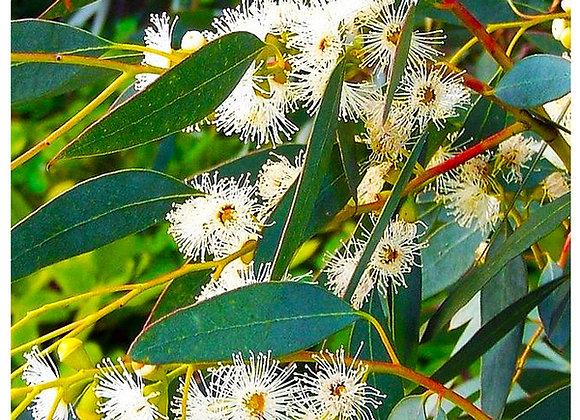 Blue Mallee Eucalyptus