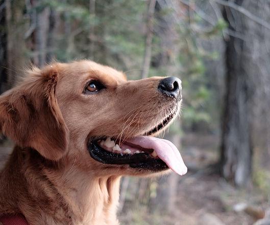 closeup photography of yellow Labrador retriever surrounded trees_edited.jpg