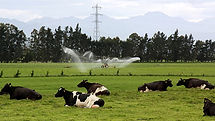 irrigation-cows-pod.jpg
