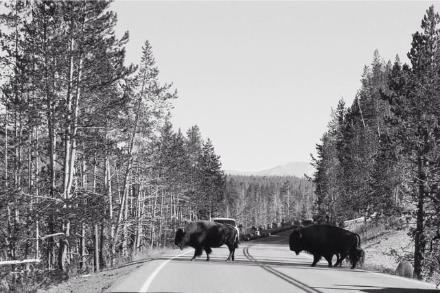 Yellowstone National Park - Bison Crossing