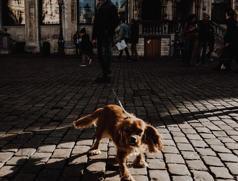 Dog on the streets of Brussels