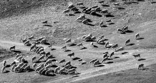 Ship herd in Chamonix