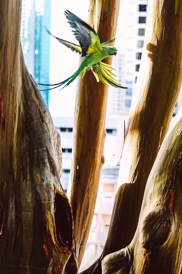 Parrots cross flying