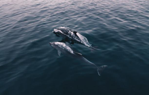 Dolphins of Crimea