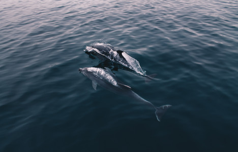 Dolphins of Crimea