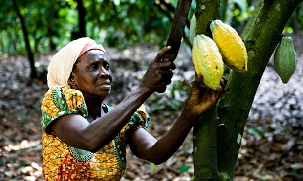Ghanaian Cacao grower