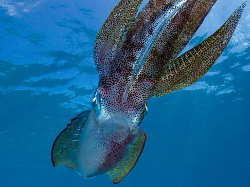 Squid Protein to Help with Environmental Waste