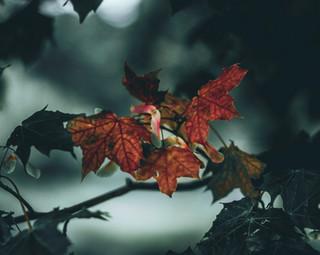 Autumnal Leaves, 2017