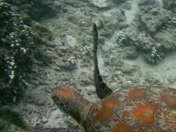 tortue lagon réunion