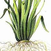 vetiver-zizanoides-botanical-01.jpg