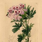 pelargonium-graveolens-botanical-02.jpg