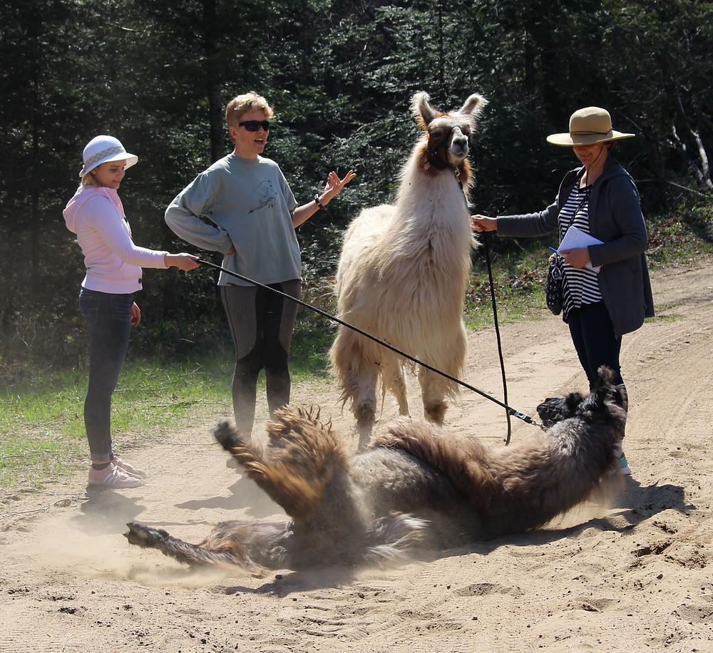 Cute llama rolls in the sand