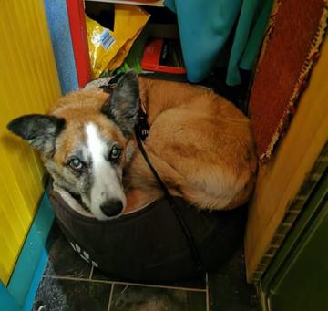 I DO Fit in Juan's bed Honest - Bogie Van dog traveller.