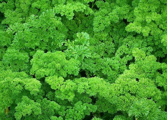 Persil frisé (semences)- Bio