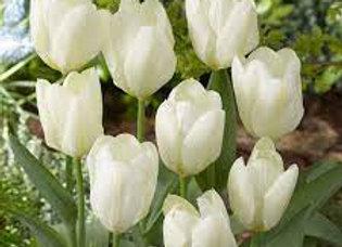 Bulbes de tulipe - White Emperor