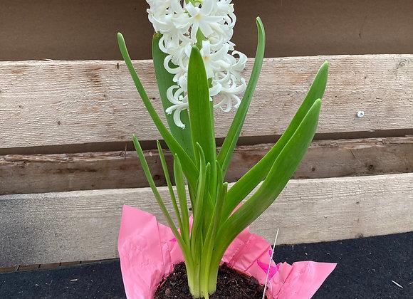 Jacinthe blanc (pot 4'')