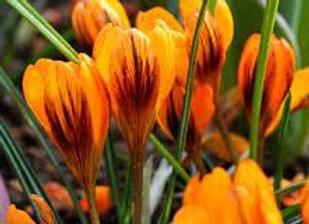 Bulbes de crocus - Orange Monarch