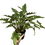 Thumbnail: Philodendron xanadu